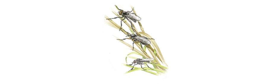 hawthornfly